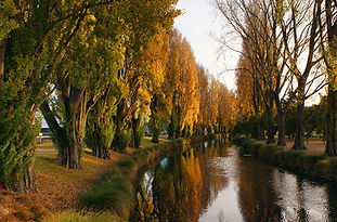 Avon River Poplar trees.
