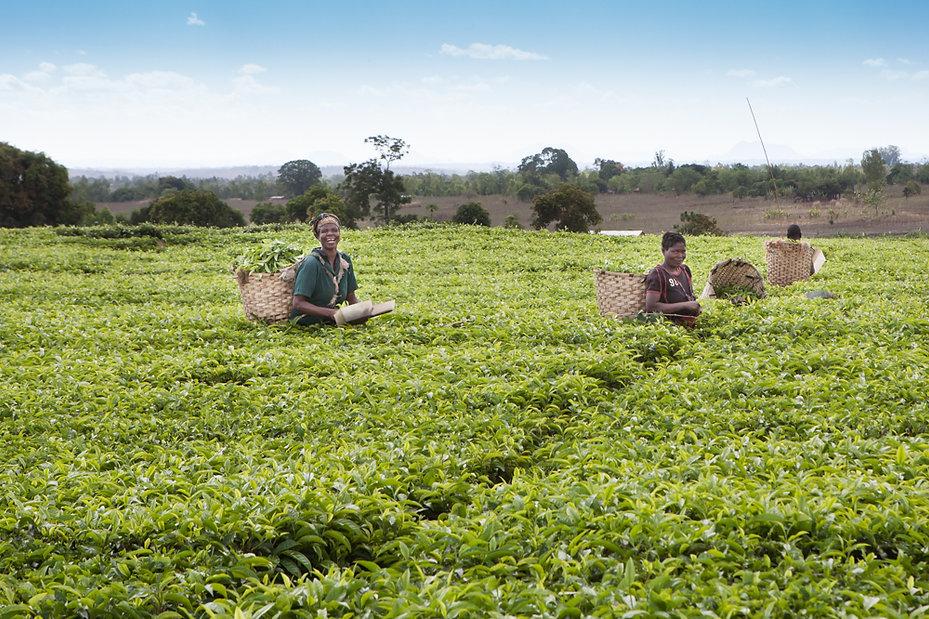 Workers in a Malawian tea plantation