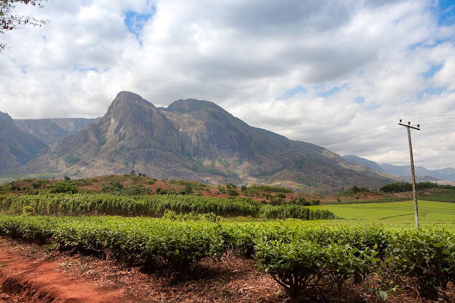 Malawian tea plantation