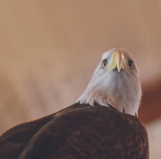 Eagle from logo.jpg