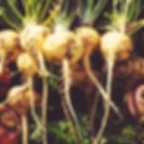 maca_root.jpg