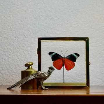 Vlinder in Messing vitrine