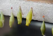 Vlinder Poppen