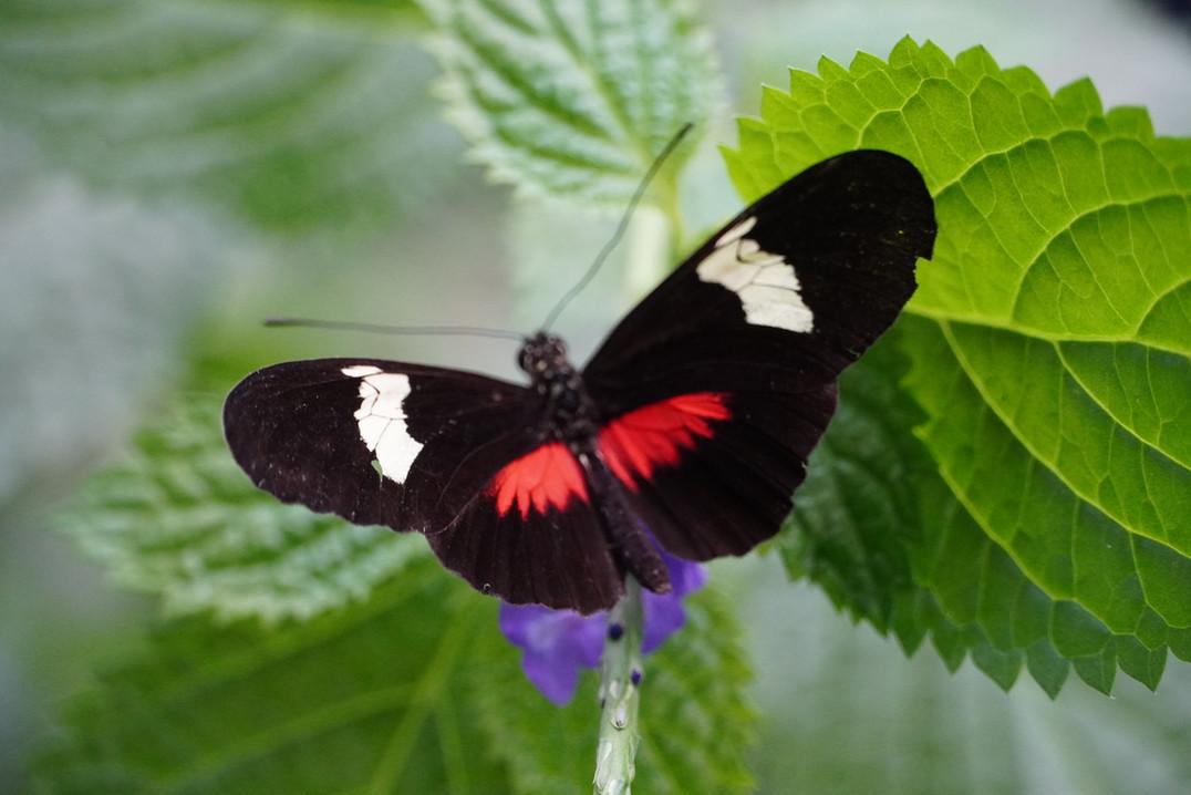 Zwart Rood en Witte vlinder op blad.