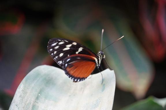 Bruin Zwart Witte vlinder.
