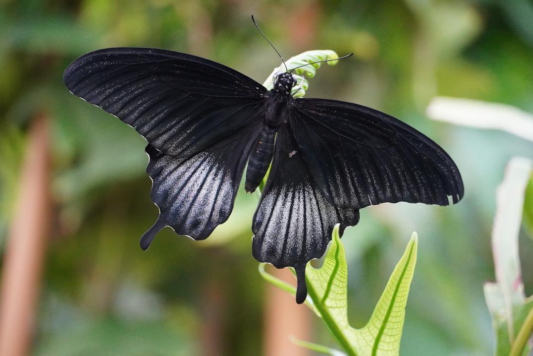 Black Beauty vlinder.