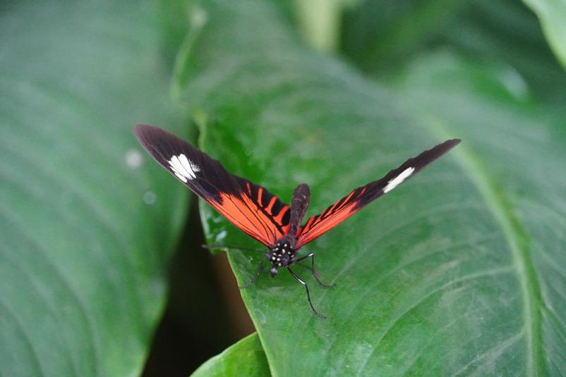 Vlinder op blad, Rood Zwart Wit