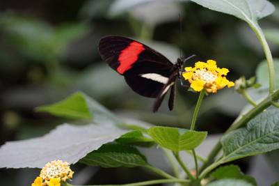 Vlinder op Gele Bloem.