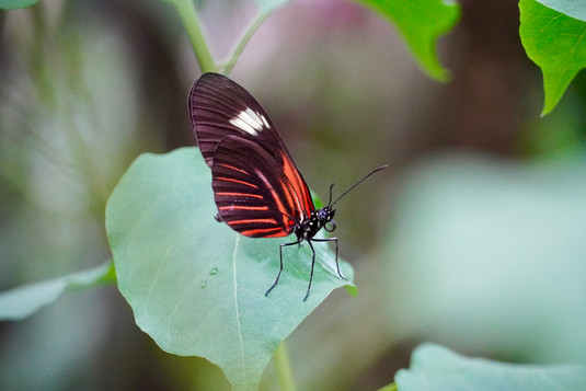 Rood Zwart Witte Vlinder op blad