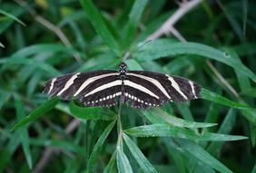 Bruin Witte Zebra vlinder in bladerdek.