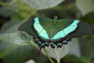 Groene Vlinder.