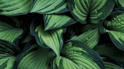 hosta_leaves_plant_170175_1920x1080