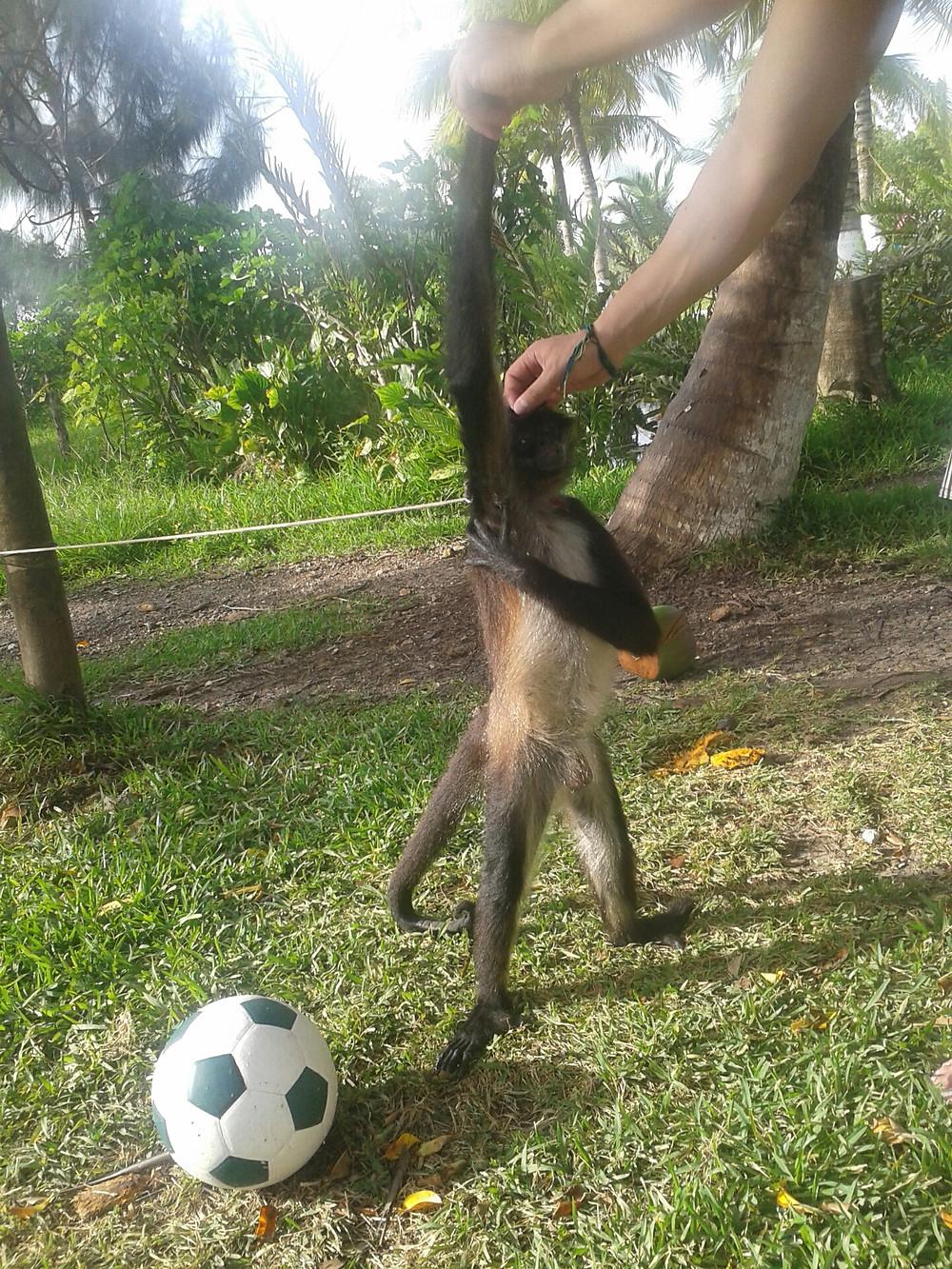 mono con pelota en Bacalar