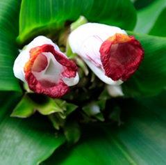 Costus lucanusianus 'Sweet African'