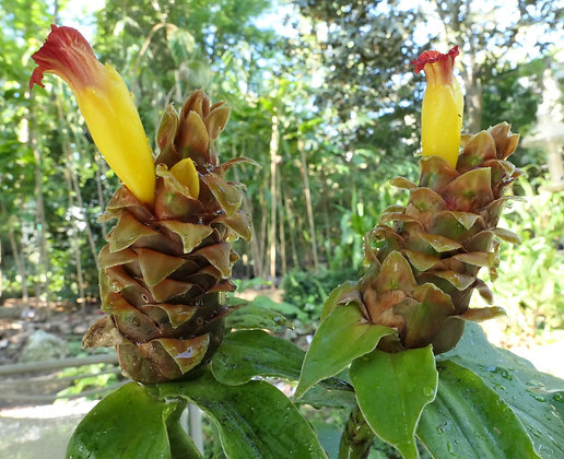 Costus 'California Dreaming'