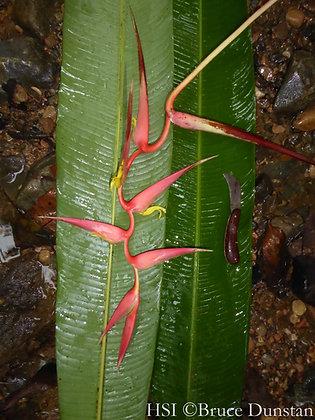 Heliconia colgantea