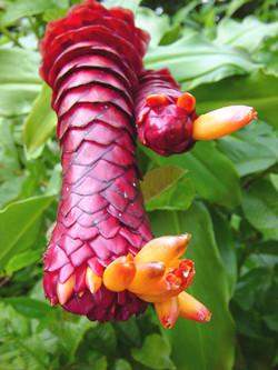Costus_sp._hyb._'Peruvian_Pineapple'.jpg
