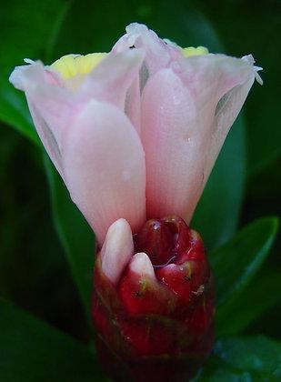 Costus aff. spiralis x arabicus 'Tropicais'