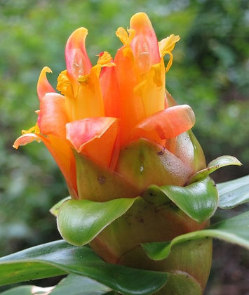 Costus aff. pulverulentus x 'Rancho Sunrise'