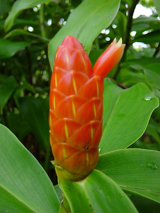 Costus scaber 'French Kiss'