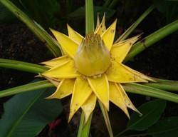 Ensete lasiocarpum 'Golden Lotus'