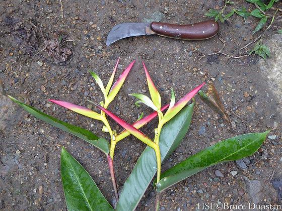 Heliconia cordata