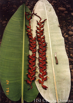 Heliconia excelsa