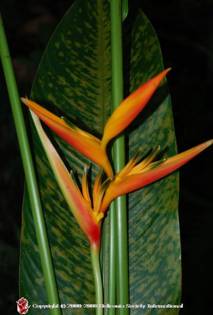 Heliconia_AlanCarle.JPG