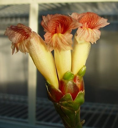 Costus guanaiensis 'Sweet Charlotte'