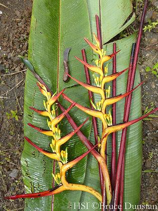 Heliconia burleana