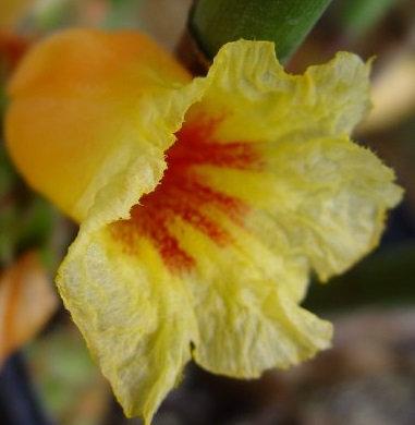 Cheilocostus globosus 'Peach Cobbler'