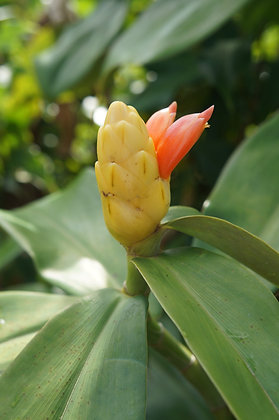 Costus aff. scaber  'Belize Yellow'