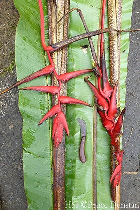 Heliconia badilloi