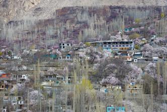Cherry Blossoms in Hunza, Gilgit, Pakistan