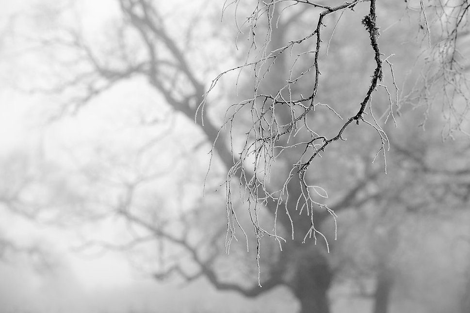 Trees hoar frost_2975.jpg