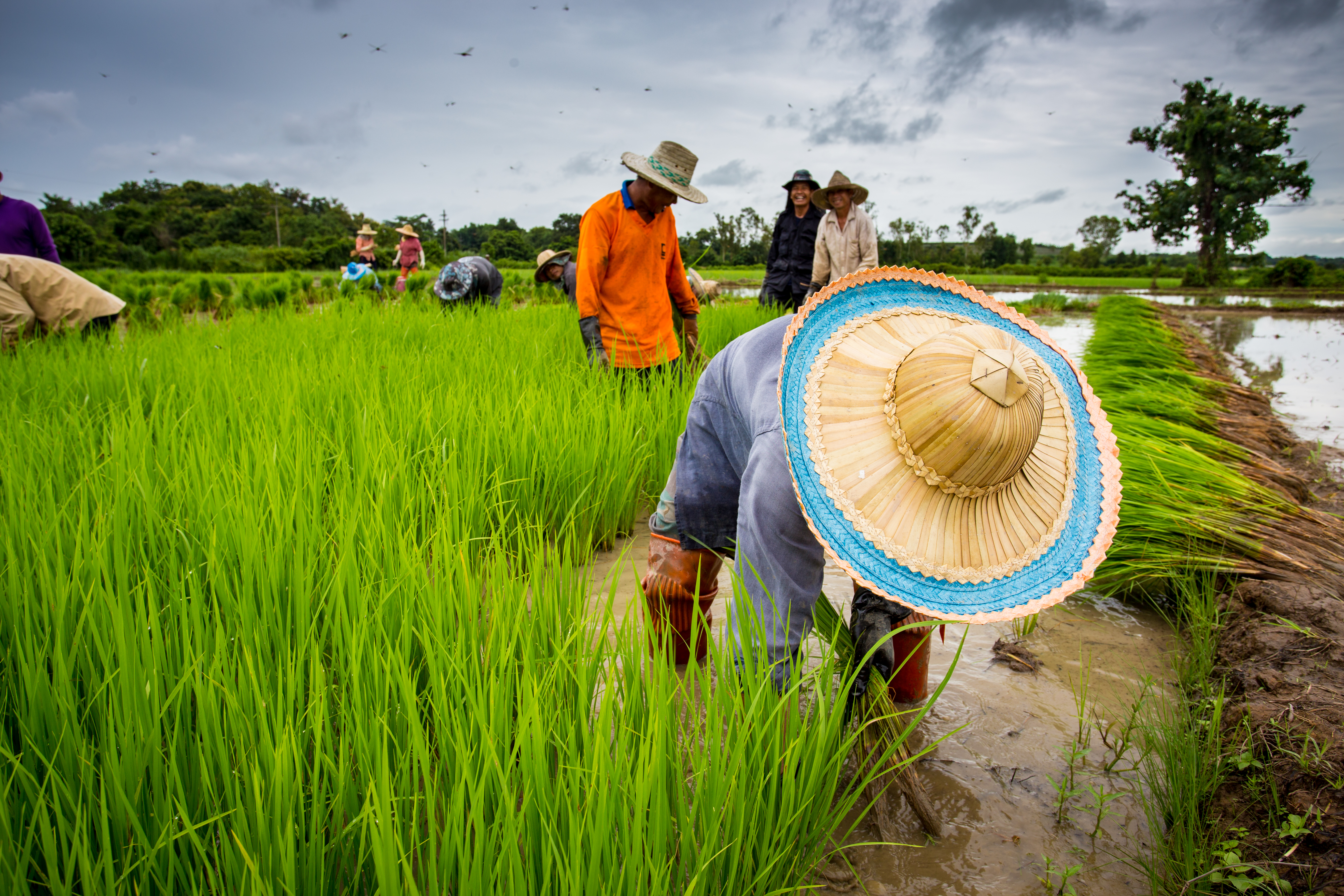 farmers_planting_rice_at_daytime-scopio-