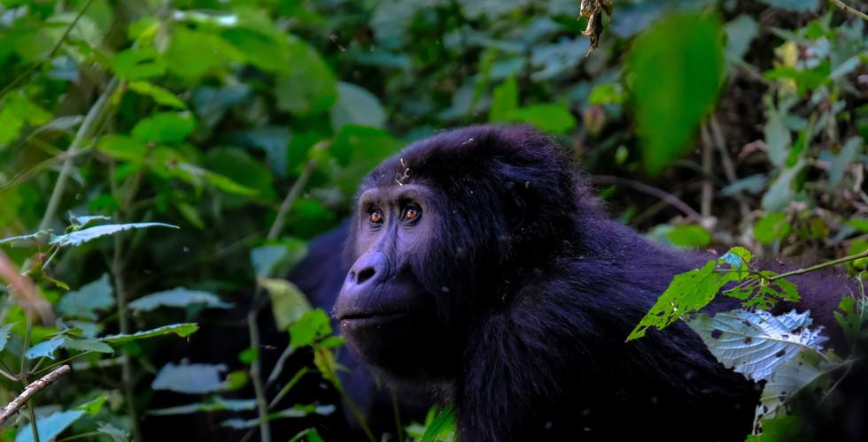 Uganda, safari Twiga