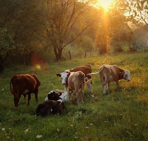 herd of cattle standing on green grass_edited.jpg