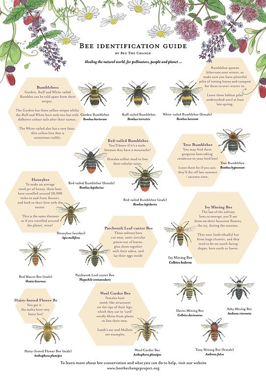 bee-identification-poster-sarah-dowling-bristol-wildlife-illustrator