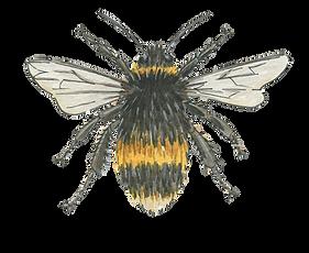 bumble-bee-watercolour-illustration-sarah-dowling-bristol-wildlife-illustrator.png