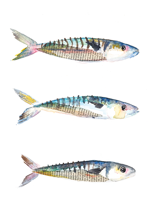 watercolour-mackerel-illustration-sarah-