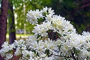 white-azaleas-in-arkansas-ozarks-4151186