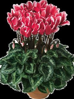 טיאניס-פנטסיה-אדום