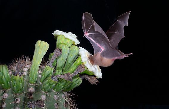 Lesser Long nosed Bat visiting a catus