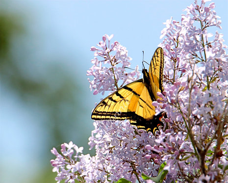 Yellow Butterfly on Lilacs 8x10