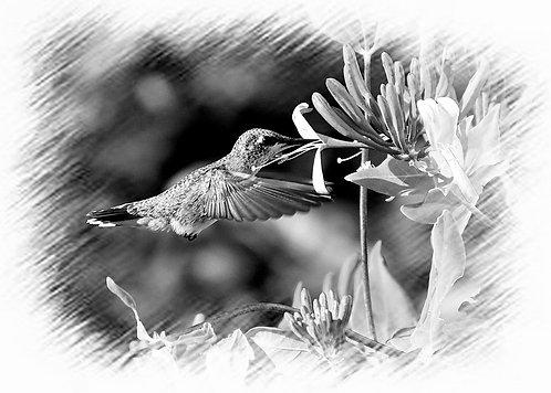 Hummingbird black and white