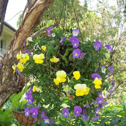 16. potted colour in hanging basket.jpg