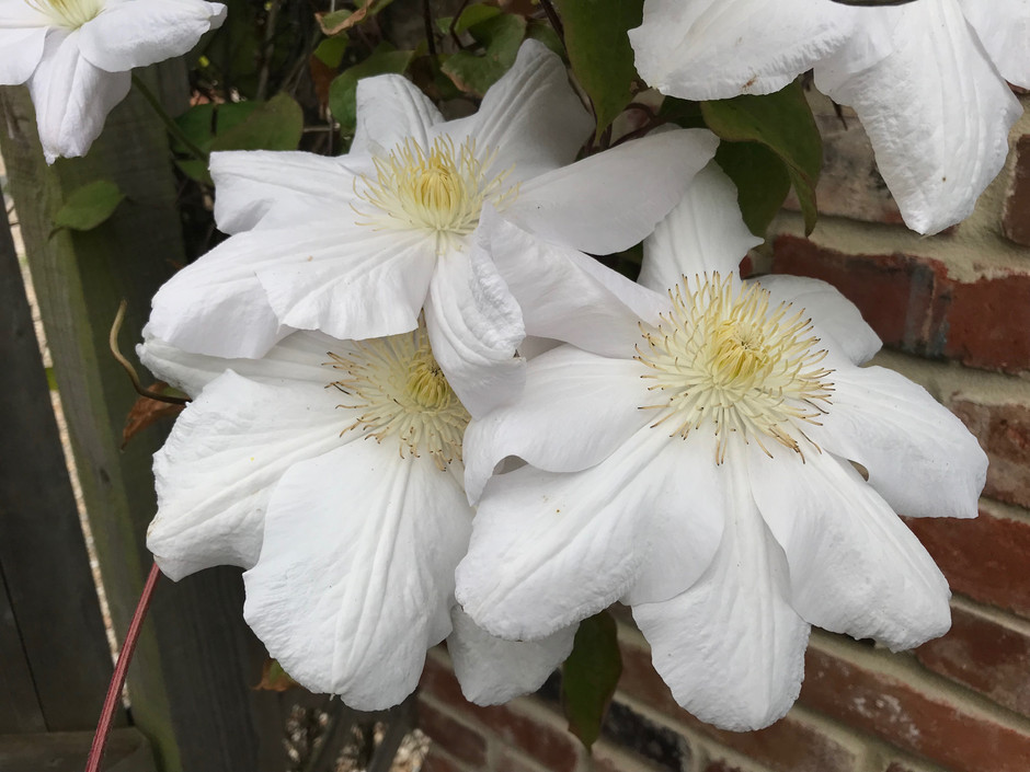 The Charms of Clematis