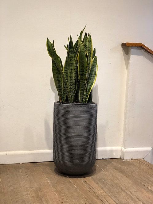 """Snake Plant 10"""""""
