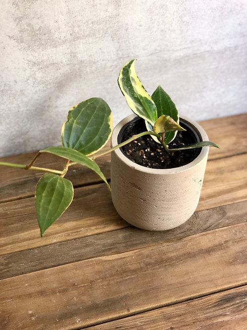 """Hoya Macrophylla (4"""")"""